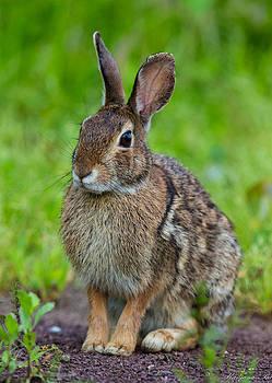 Rabbit by Ranjana Pai