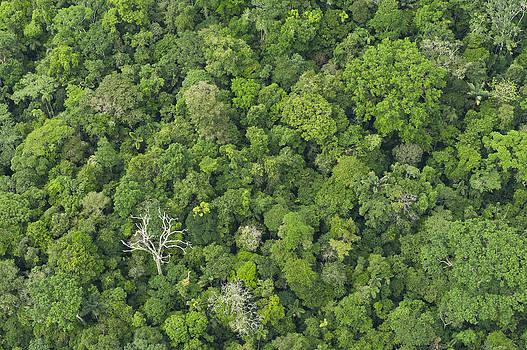 Pete  Oxford - Rainforest Canopy Yasuni Ecuador