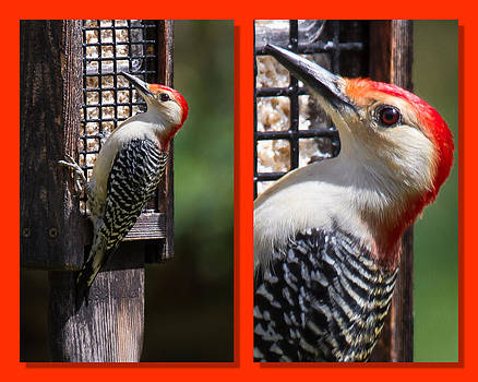 Red-Bellied Woodpecker by Robert L Jackson