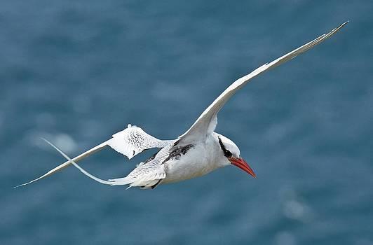 Red-billed Tropicbird In Flight by Bob Gibbons