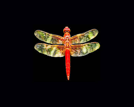 TONY GRIDER - Red Dragonfly Small