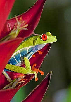Dennis Cox - Red eyed tree frog 2