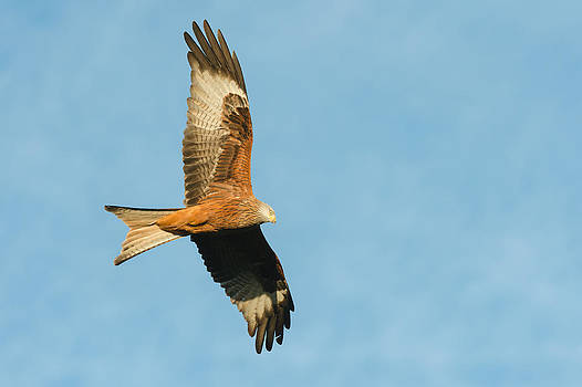Red Kite by Andy Astbury