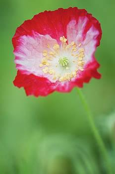 Red Shirley Poppy by Maria Mosolova