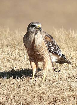 Regina  Williams  - Red Shouldered Hawk