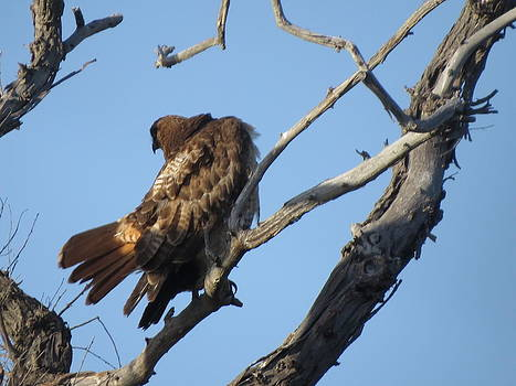 Red Tail Hawk by Shawn Minor