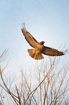 Susan Gary - Red-Tailed Hawk Takes Flight at Sunset