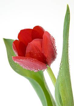 Red Tulip by Gillian Dernie