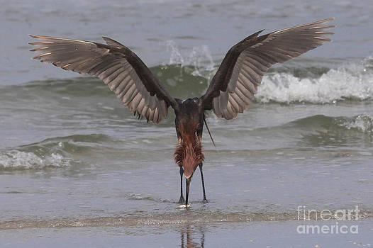 Reddish Egret Fishing by Meg Rousher