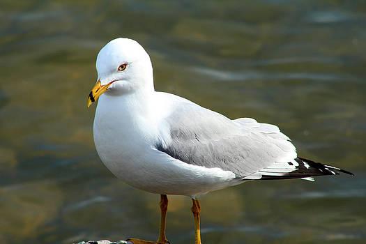 Scott Hovind - Ring Billed Gull