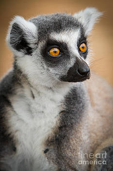Ring Tailed Lemur by Craig Dingle
