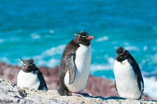 Rockhopper Penguins by Konstantin Kalishko