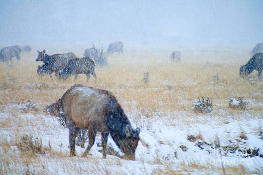Steve Krull - Rocky Mountain Elk Herd