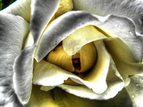 Rose by Deborah Knolle
