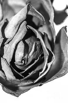 Rose iV by Nel Saints