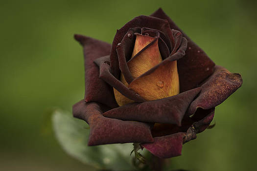 Rose by Jean-Jacques Thebault
