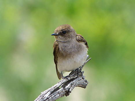 Rough-winged Swallow by Jim Law