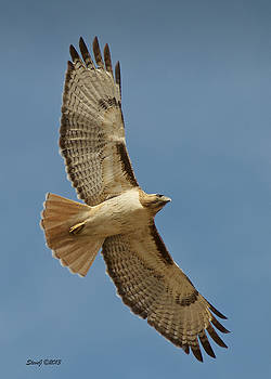 Roxborough Park Road Red Tail Hawk by Stephen  Johnson