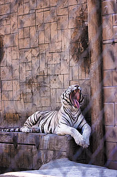 Royal White Bengal Tiger by Rusty Jeffries