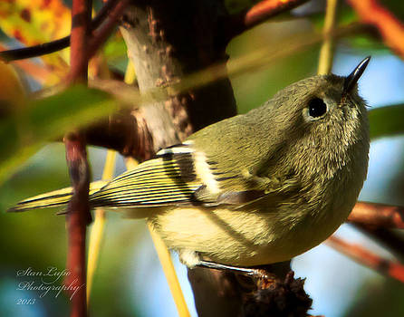 Ruby-crowned Kinglet by Stanley Lupo