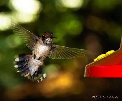 Ruby Throated Hummingbird by Robert L Jackson