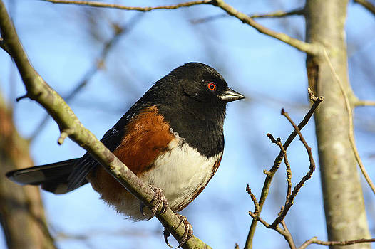 Rufous Sided Towhee by Michele Wright