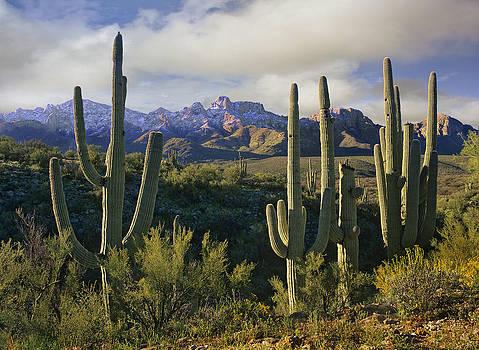 Saguaro Cactus by Tim Fitzharris