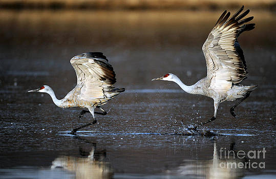 Sandhill crane taking off by Thanh Nguyen