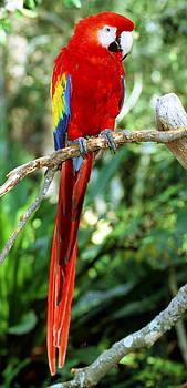 Millard H Sharp - Scarlet Macaw