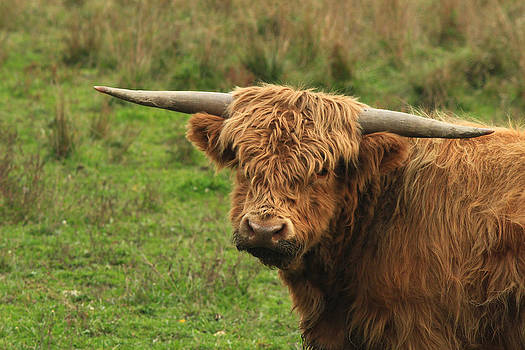 Scots Highlander Bull by Jim Cotton