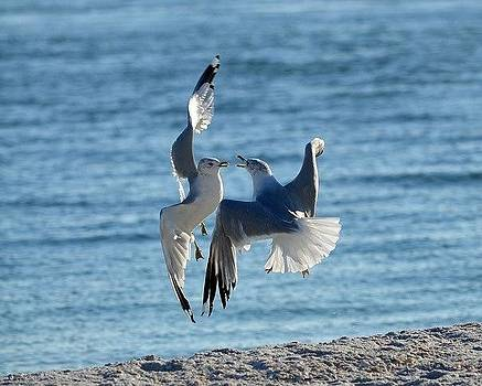 Sea Gulls In Love by Diana Berkofsky