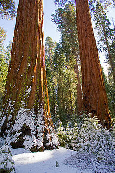 Sequoia Tree Mariposa Grove Yosemite by Lisza Anne McKee