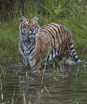 Dee Carpenter - Siberian Tiger