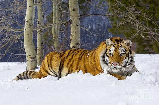 Thomas and Pat Leeson - Siberian Tiger