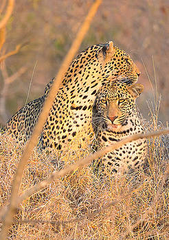 Sibling Male Leopard Cubs by Fred J Lord