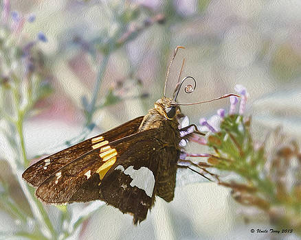 Silver Spotted Skipper by Terry Jacumin