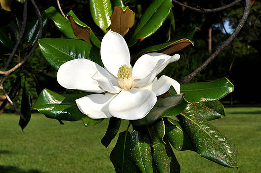 Single magnolia by Terry Sita