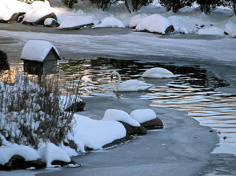 Sandy Tolman - Snow 01-03-14 -- 8104 Swans