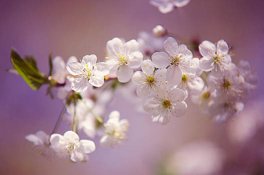 Jenny Rainbow - Spring Cherry Tree Branch