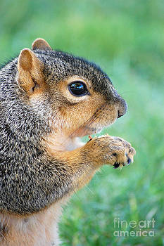 Squirrel Eating Nut  by Susan Montgomery