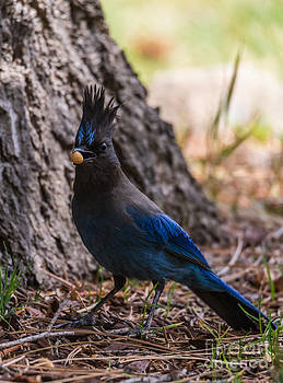 Steller's Jay With Nut by Mitch Shindelbower