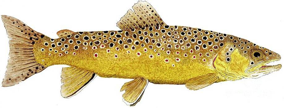 Study of a Brown Trout by Thom Glace