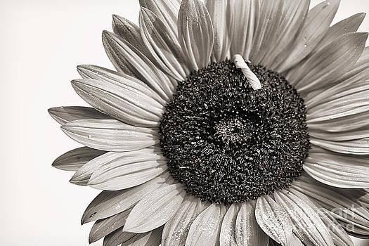 Cindi Ressler - Sunflower