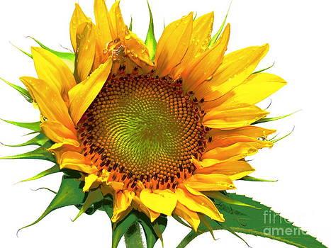 Sunflower  by David Lankton