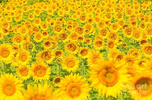 Sunflower field by Konstantin Kalishko