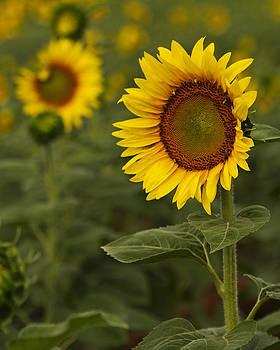 Guy Shultz - Sunflower