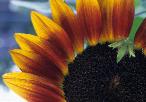Harold E McCray - Sunflower