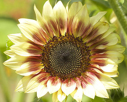 Sunflower by Julie Underwood