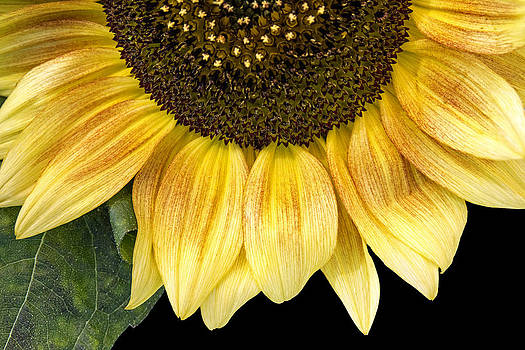 Sunflower  by Michele Wright