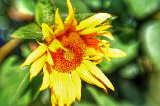 Sunflower by Shawn Wood